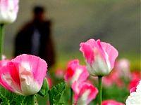 Poppy - Afghanistan
